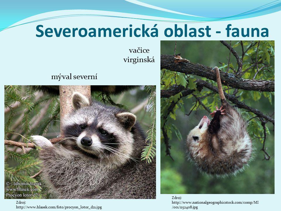 Severoamerická oblast - fauna mýval severní Zdroj: http://www.nationalgeographicstock.com/comp/MI /001/1152408.jpg vačice virginská Zdroj: http://www.hlasek.com/foto/procyon_lotor_d21.jpg