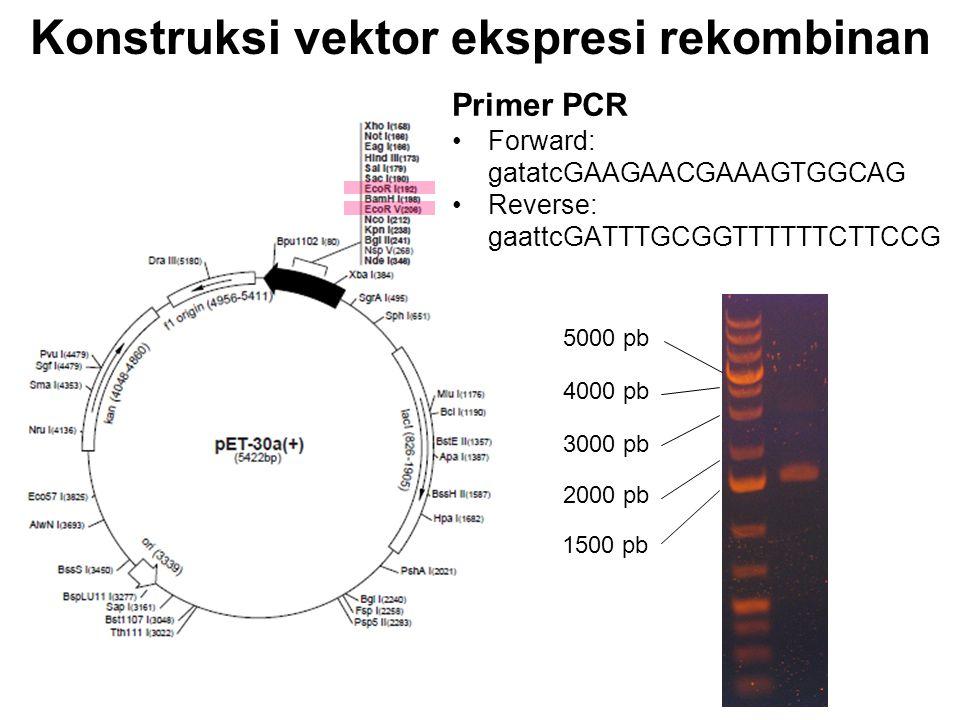 Konstruksi vektor ekspresi rekombinan Sel inang: E. coli Primer PCR Forward: gatatcGAAGAACGAAAGTGGCAG Reverse: gaattcGATTTGCGGTTTTTTCTTCCG 5000 pb 400