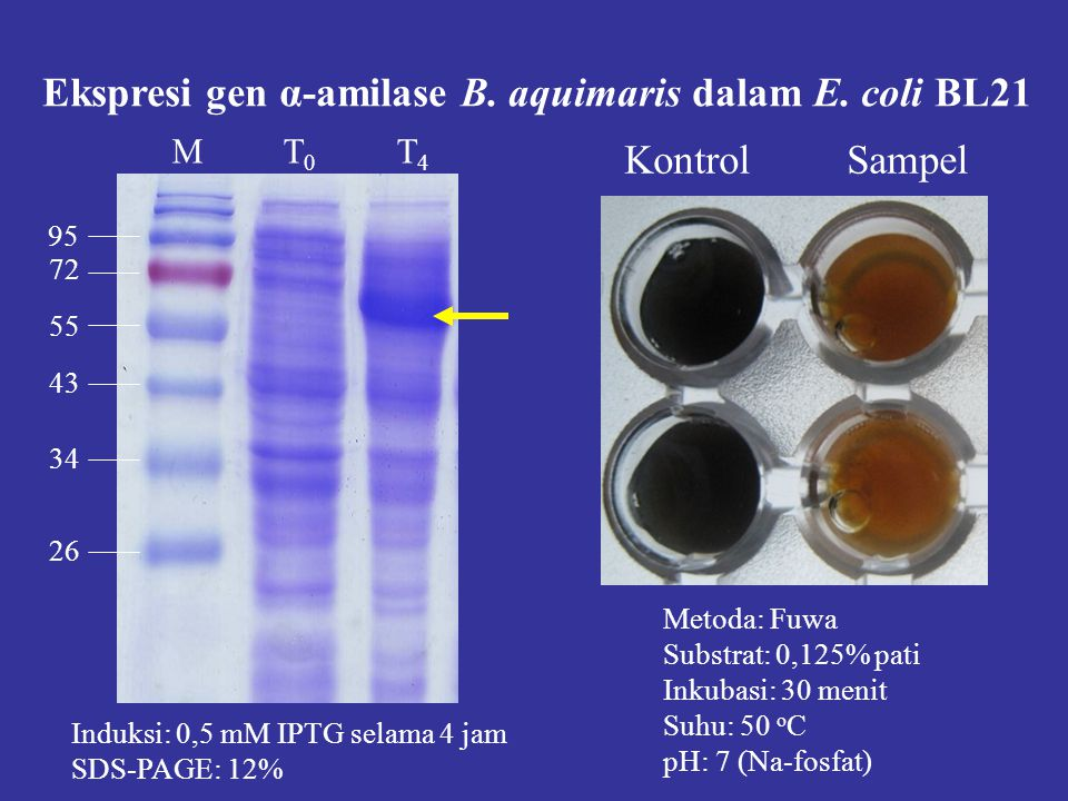 Induksi: 0,5 mM IPTG selama 4 jam SDS-PAGE: 12% M T 0 T 4 72 95 55 43 34 26 Metoda: Fuwa Substrat: 0,125% pati Inkubasi: 30 menit Suhu: 50 o C pH: 7 (