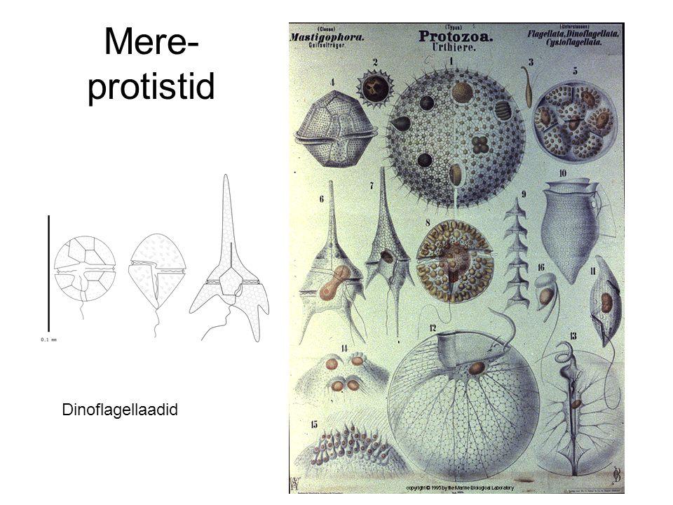 Mere- protistid Dinoflagellaadid