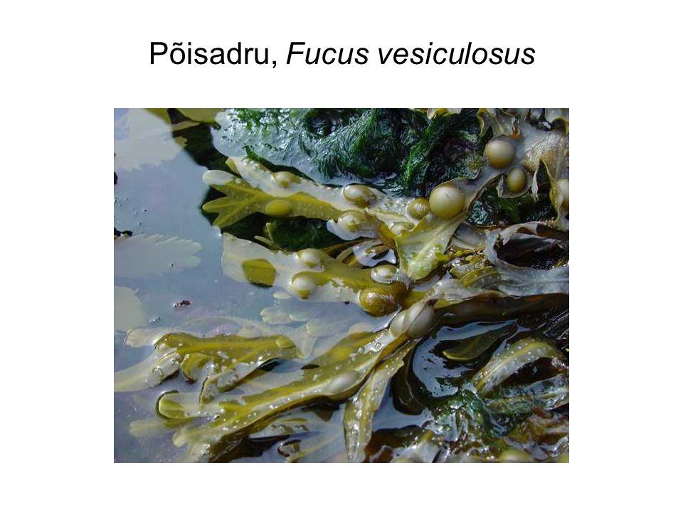 Põisadru, Fucus vesiculosus