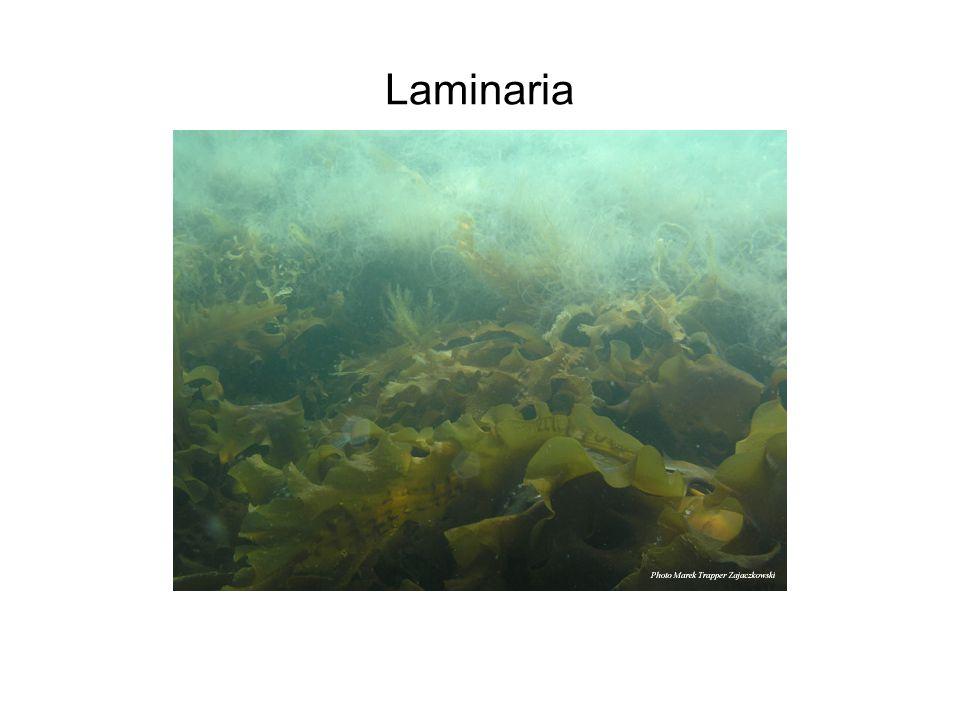 Laminaria