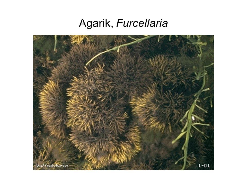 Agarik, Furcellaria