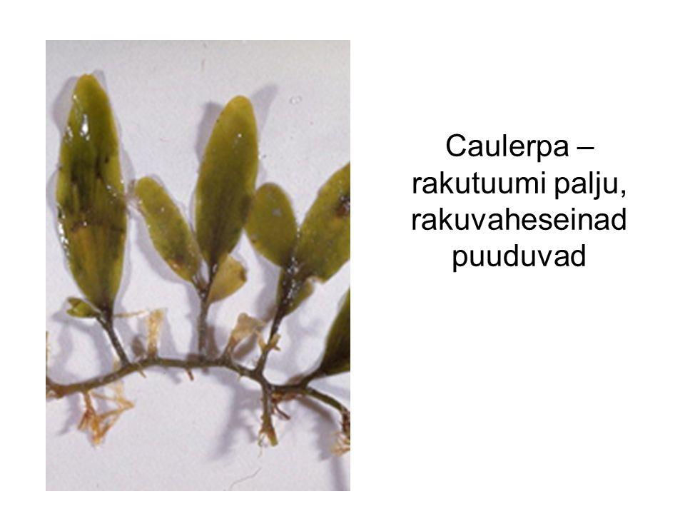 Caulerpa – rakutuumi palju, rakuvaheseinad puuduvad