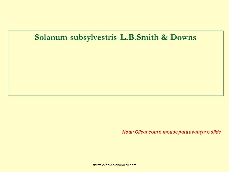 www.solanaceasnobrasil.com Solanum subsylvestris L.B.Smith & Downs Nota: Clicar com o mouse para avançar o slide