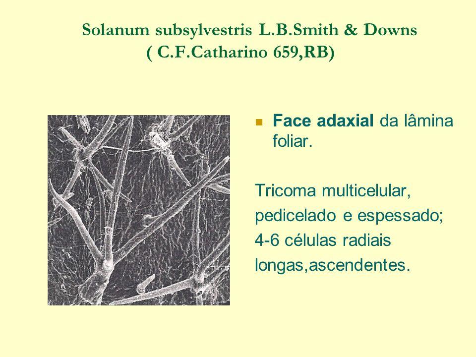 Solanum subsylvestris L.B.Smith & Downs ( C.F.Catharino 659,RB) Face adaxial da lâmina foliar.