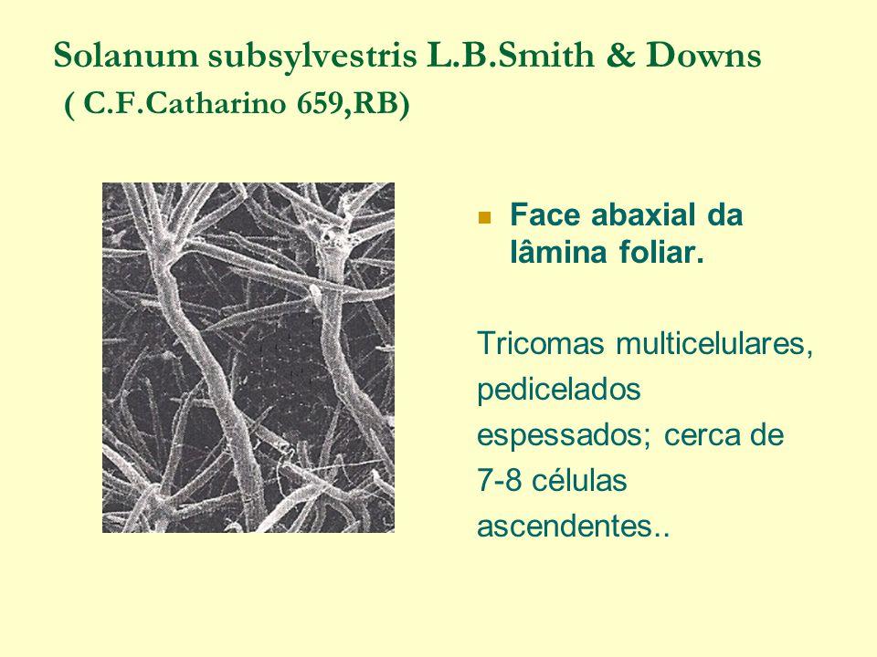 Solanum subsylvestris L.B.Smith & Downs ( C.F.Catharino 659,RB) Face abaxial da lâmina foliar.