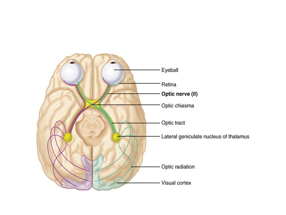 Kranial Sinirler Trigeminal sinir