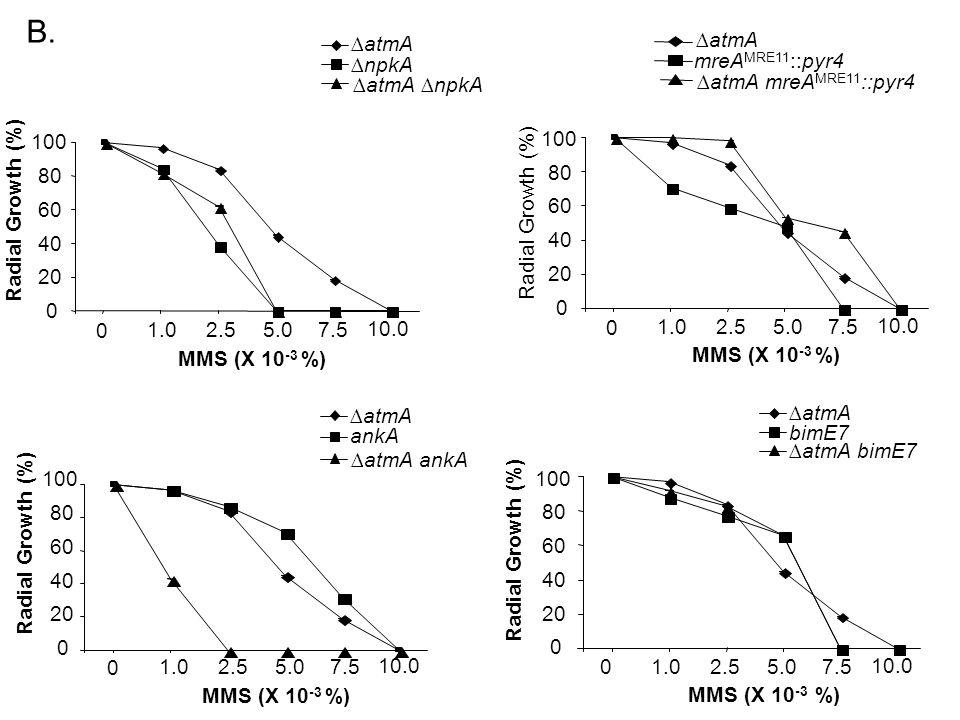0 20 40 60 80 100 0 1.02.55.07.5 10.0 MMS (X 10 -3 %) 0 20 40 60 80 100 0 1.02.55.07.5 10.0 MMS (X 10 -3 %) 0 20 40 60 80 100 0 1.02.55.07.5 10.0 MMS (X 10 -3 %) 0 20 40 60 80 100 0 1.02.55.07.5 10.0 MMS (X 10 -3 %) Radial Growth (%) B.