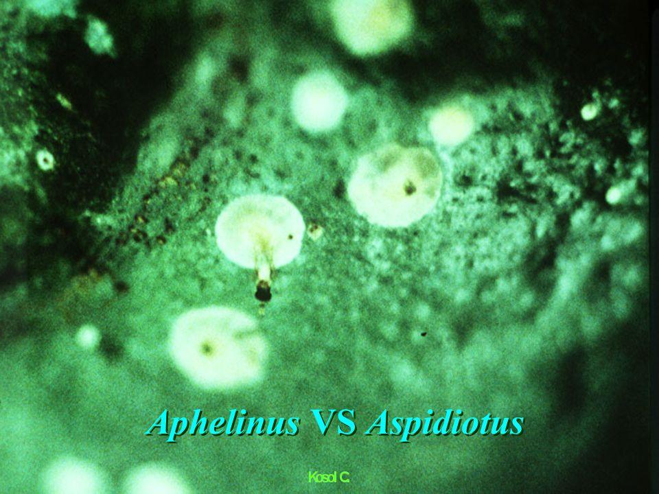 Apanteles sp. pupae