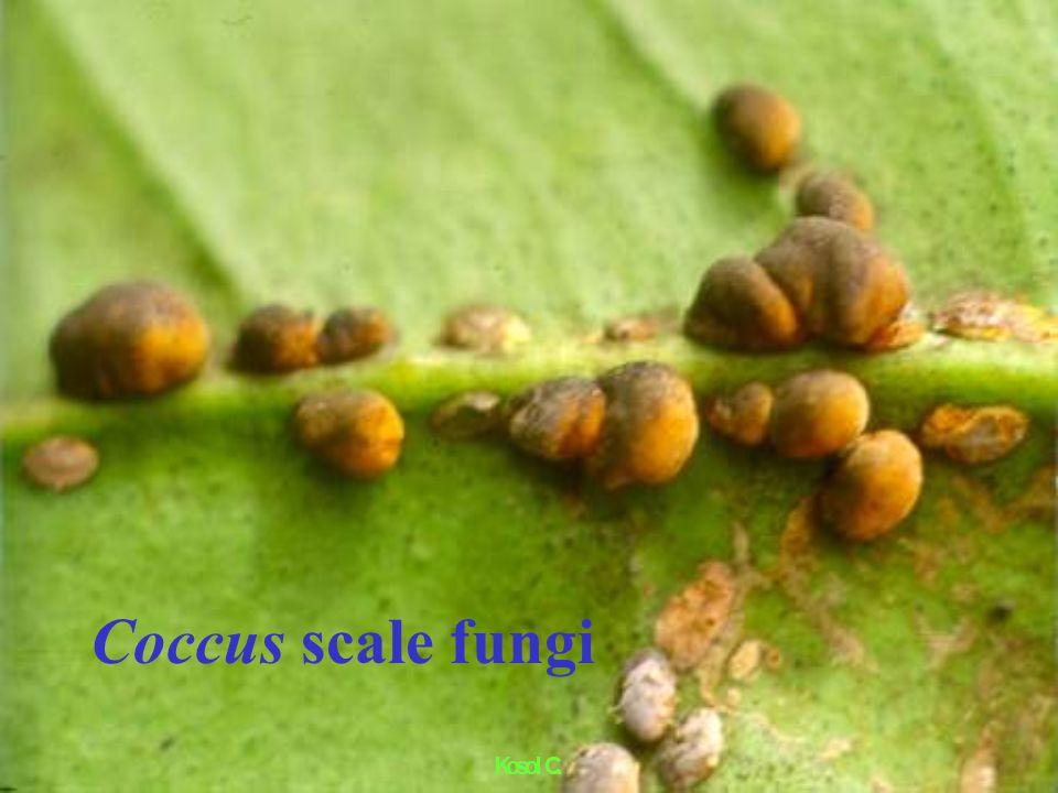 Citrus Leaf Miner pupal parasite