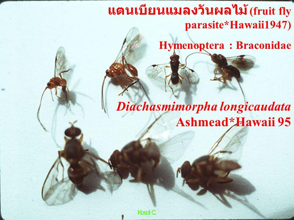 Hymenoptera : Cynipidae