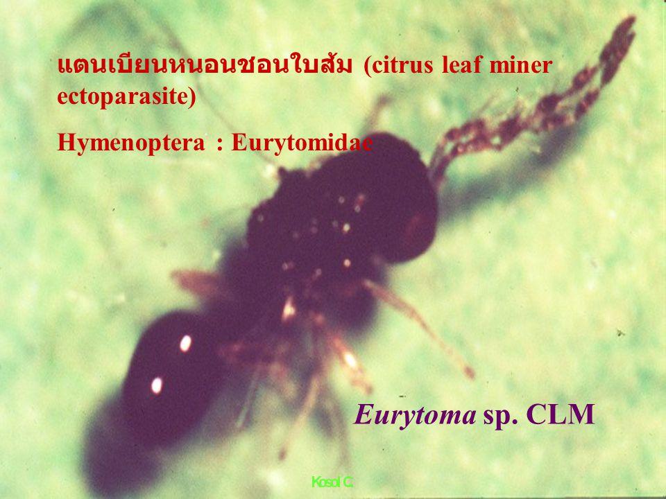 Erebus caprimulgus Fabricius ผีเสื้อมวนหวาน (fruit moth)Lepidoptera :Noctuidae