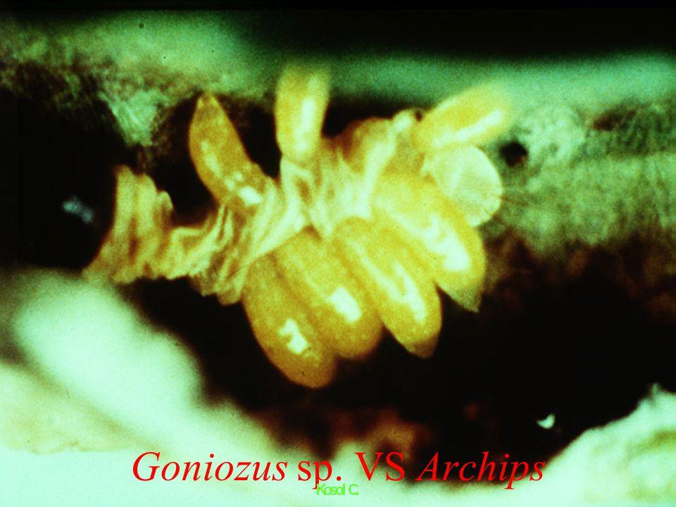 Exorista psychidarum Baranoff แมลงวันเบียน (bagworm parasite) Diptera : Tachinidae
