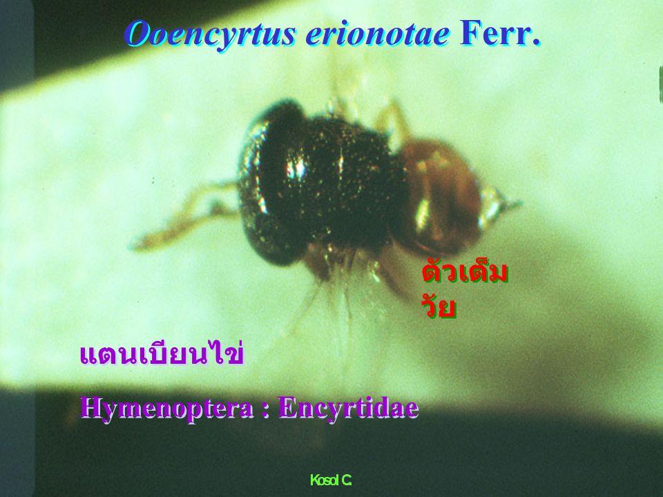 Ichneumonidae VS Papilio
