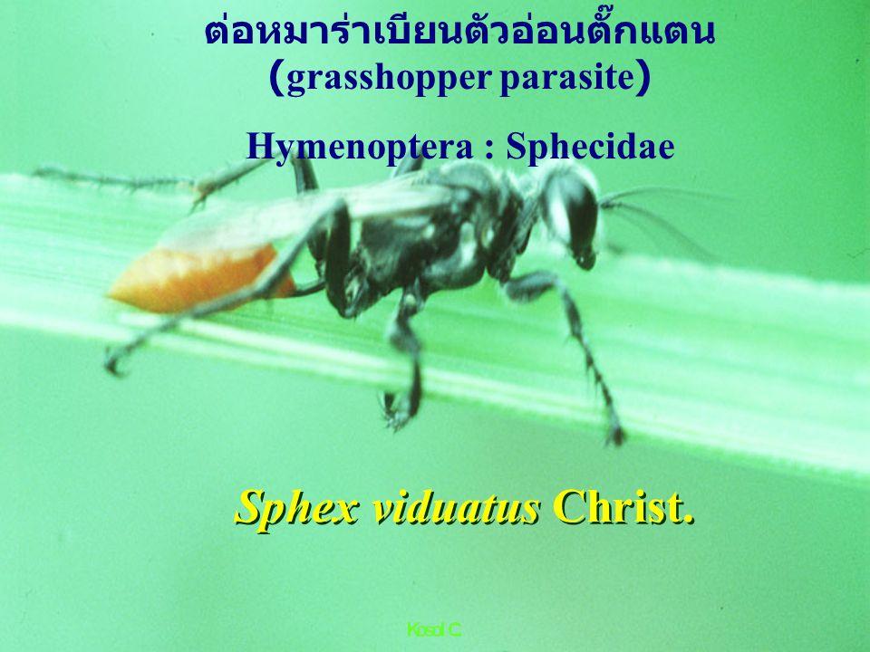 Scelio fascialis แตนเบียนไข่ตั๊กแตน (acridid egg)Hyminoptera:Scelionidae