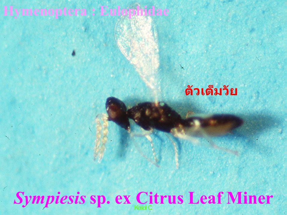 Sphex viduatus Christ. ต่อหมาร่าเบียนตัวอ่อนตั๊กแตน (grasshopper parasite) Hymenoptera : Sphecidae