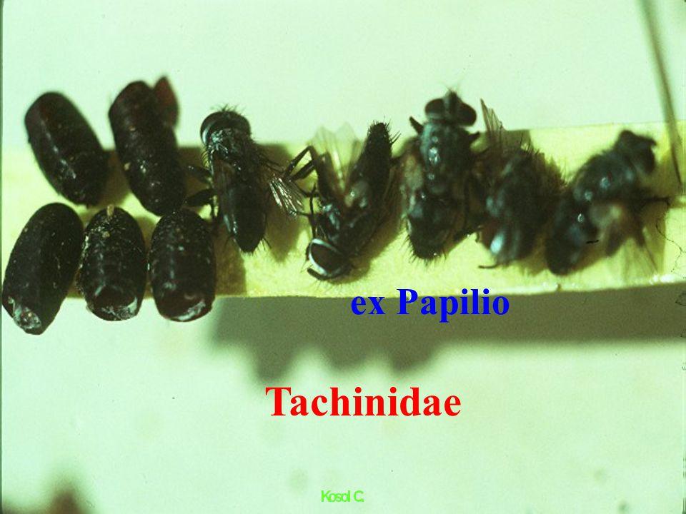 Sympiesis sp. ex Citrus Leaf Miner ตัวเต็มวัย Hymenoptera : Eulophidae