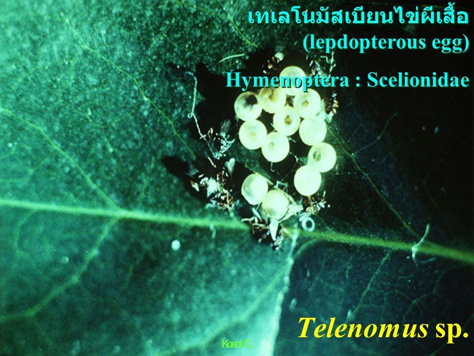 ex Papilio Tachinidae