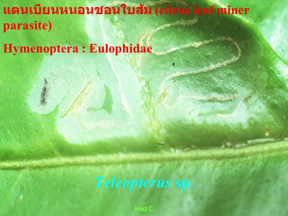 Telenomus sp.