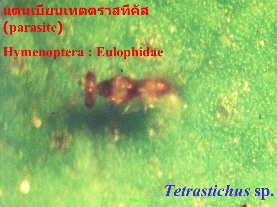 Teleopterus sp. แตนเบียนหนอนชอนใบส้ม (citrus leaf miner parasite) Hymenoptera : Eulophidae