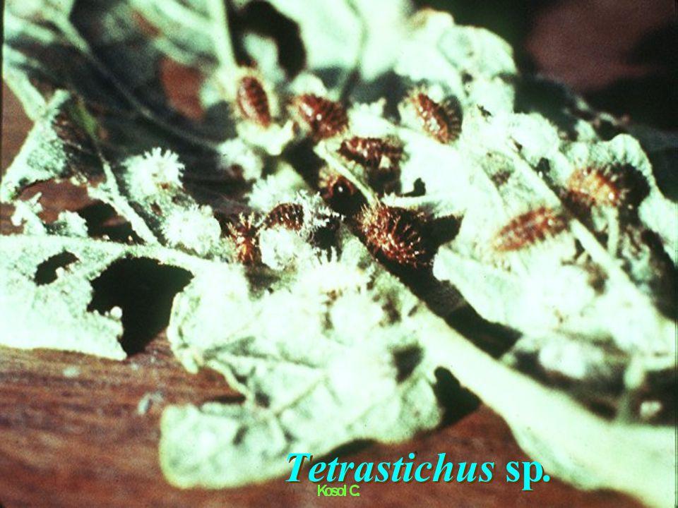 Tetrastichus sp. แตนเบียนเทตตราสทีคัส (parasite) Hymenoptera : Eulophidae