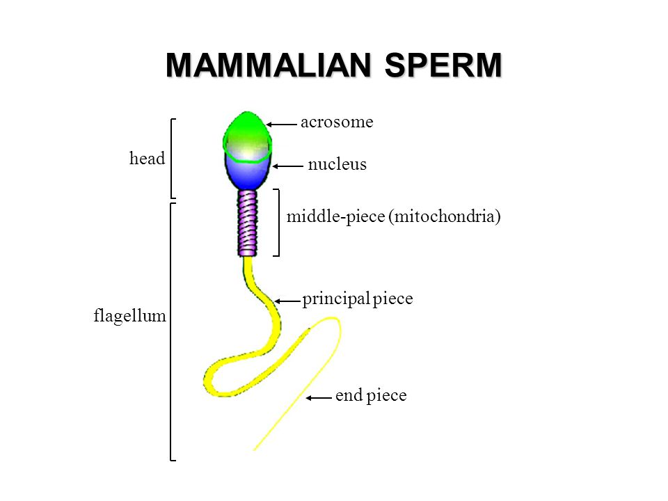 MAMMALIAN SPERM acrosome nucleus middle-piece (mitochondria) principal piece flagellum head end piece