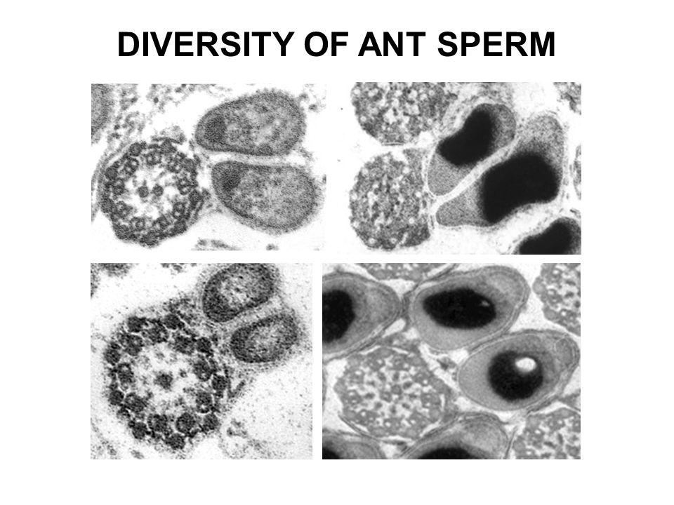 DIVERSITY OF ANT SPERM