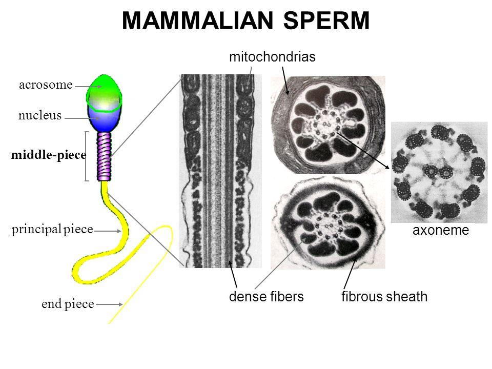 SPERM MORPHOLOGY IN ANTS1 23 4 1 and 3 = Human sperm; 2 and 4 = sperm of Acromyrmex subterraneus subterraneus