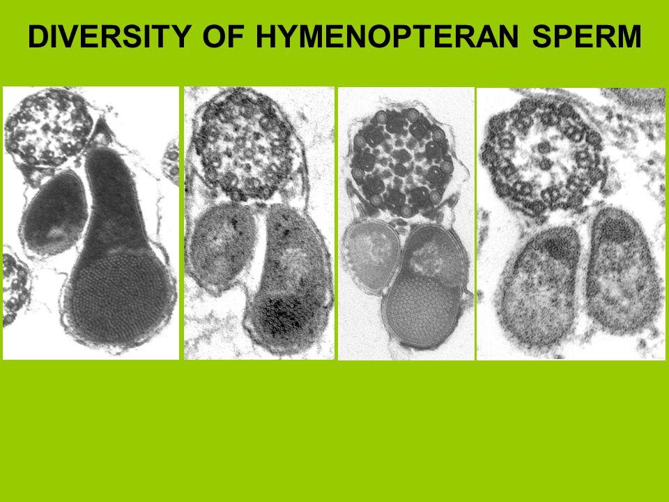 DIVERSITY OF HYMENOPTERAN SPERM