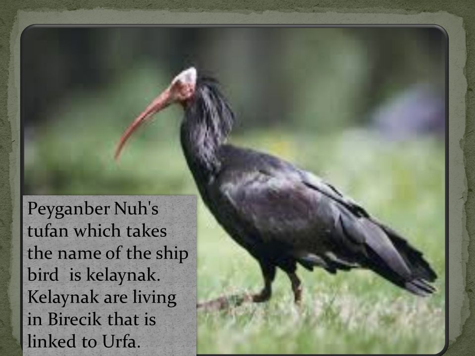 Peyganber Nuh s tufan which takes the name of the ship bird is kelaynak.