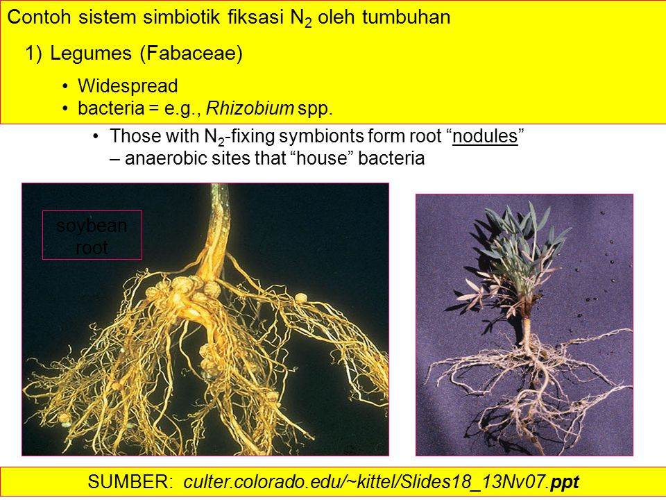 Those with N 2 -fixing symbionts form root nodules – anaerobic sites that house bacteria soybean root Contoh sistem simbiotik fiksasi N 2 oleh tumbuhan 1) Legumes (Fabaceae) Widespread bacteria = e.g., Rhizobium spp.