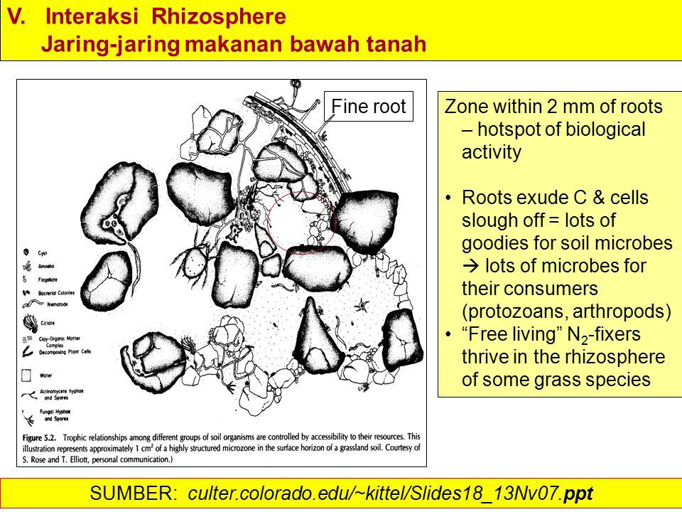 V. Interaksi Rhizosphere Jaring-jaring makanan bawah tanah Zone within 2 mm of roots – hotspot of biological activity Roots exude C & cells slough off