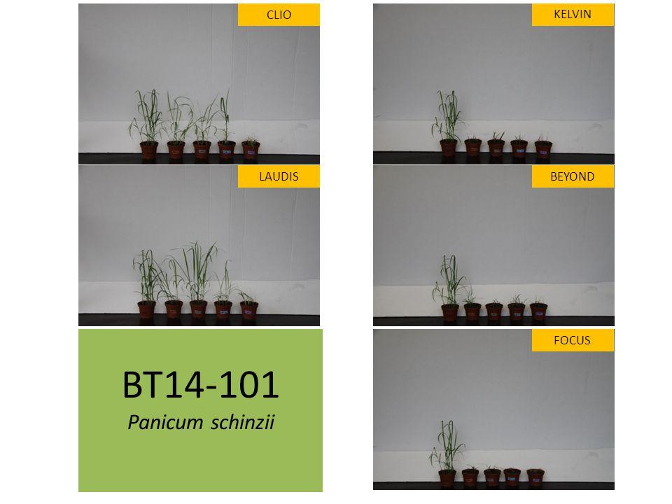 BT14-101 Panicum schinzii CLIO LAUDIS FOCUS KELVIN BEYOND