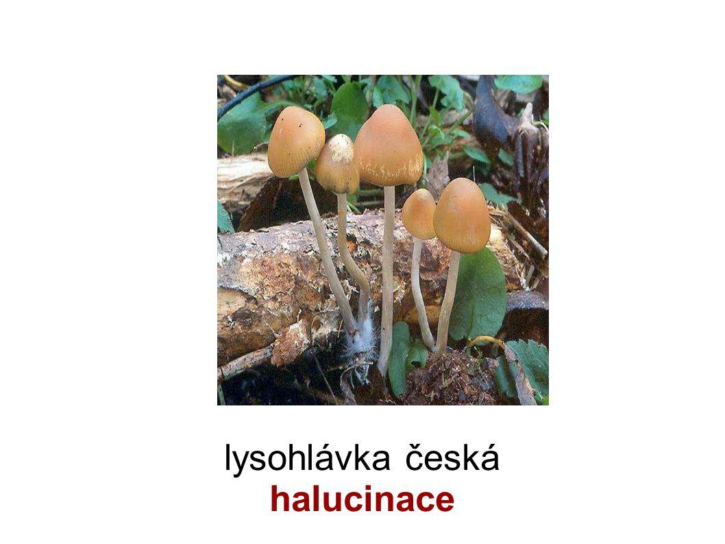lysohlávka česká halucinace