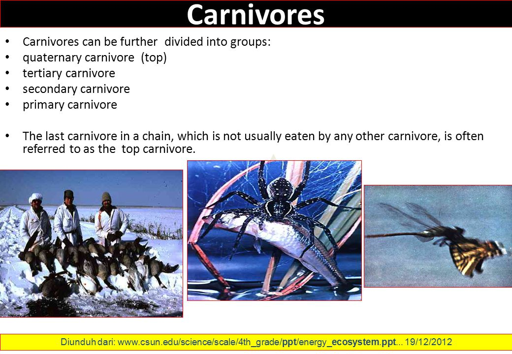 Carnivores Carnivores can be further divided into groups: quaternary carnivore (top) tertiary carnivore secondary carnivore primary carnivore The last