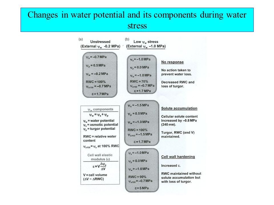 Water and growth Elongation: dV/Vdt  m(  p - Y) m - cell wall extensibility,  p - pressure potential,Y - threshold pressure potential dV/Vdt  L p (  w o -  w ) L p - hydraulic conductance,  w o - water potential of water source,  w - water potential of elongating cell Lockart equation: dV/Vdt = mLp/(m + Lp)  (  w +  p - Y)