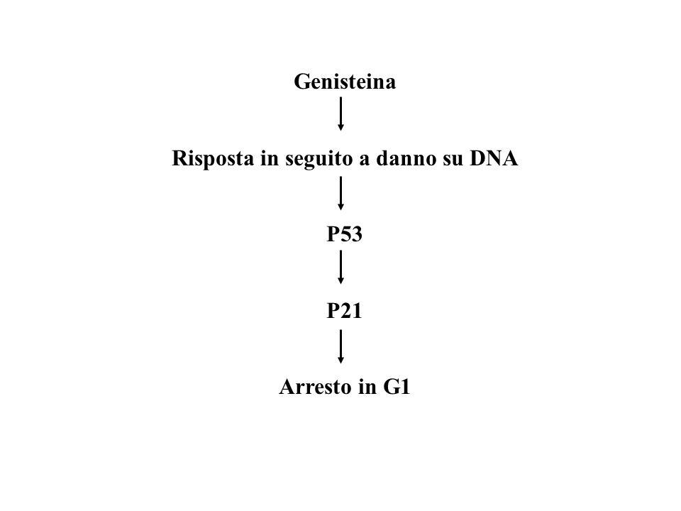 Genisteina Risposta in seguito a danno su DNA P53 P21 Arresto in G1