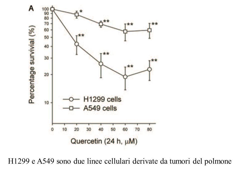 H1299 e A549 sono due linee cellulari derivate da tumori del polmone