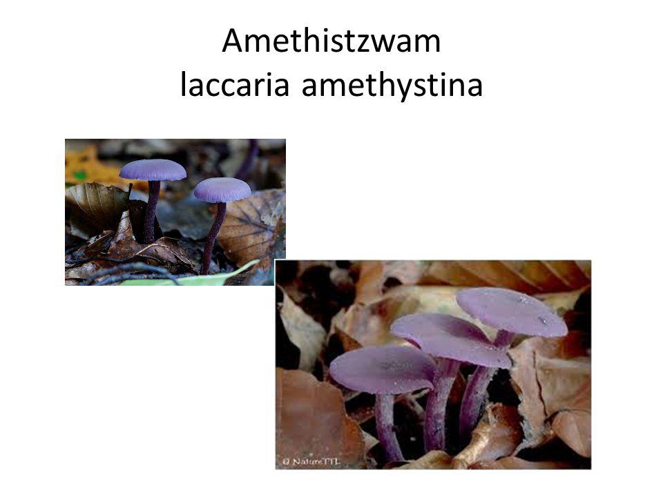 Amethistzwam laccaria amethystina