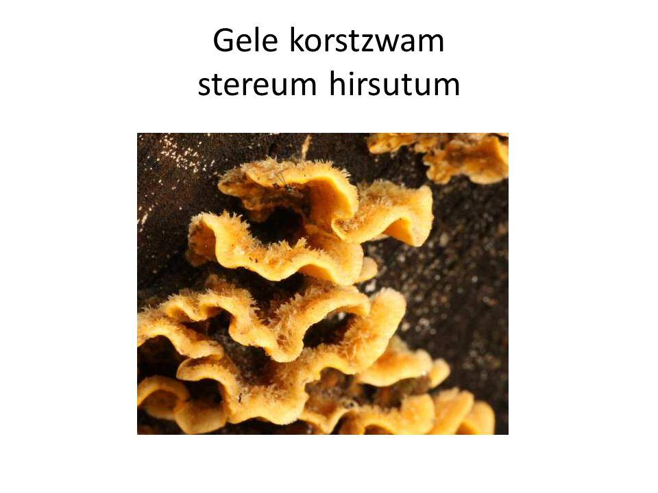 Gele korstzwam stereum hirsutum