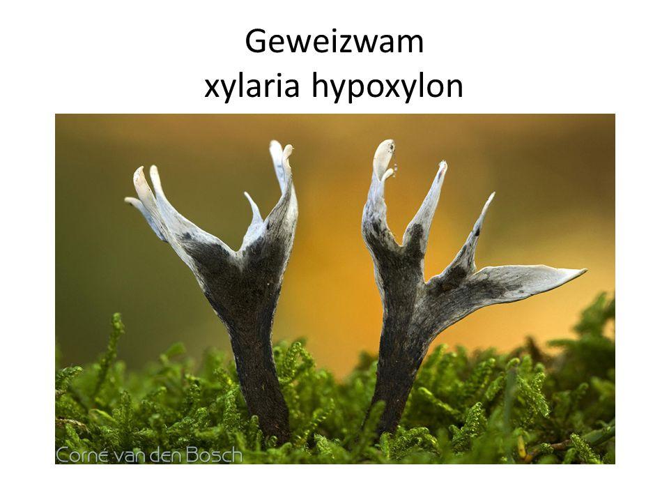 Geweizwam xylaria hypoxylon