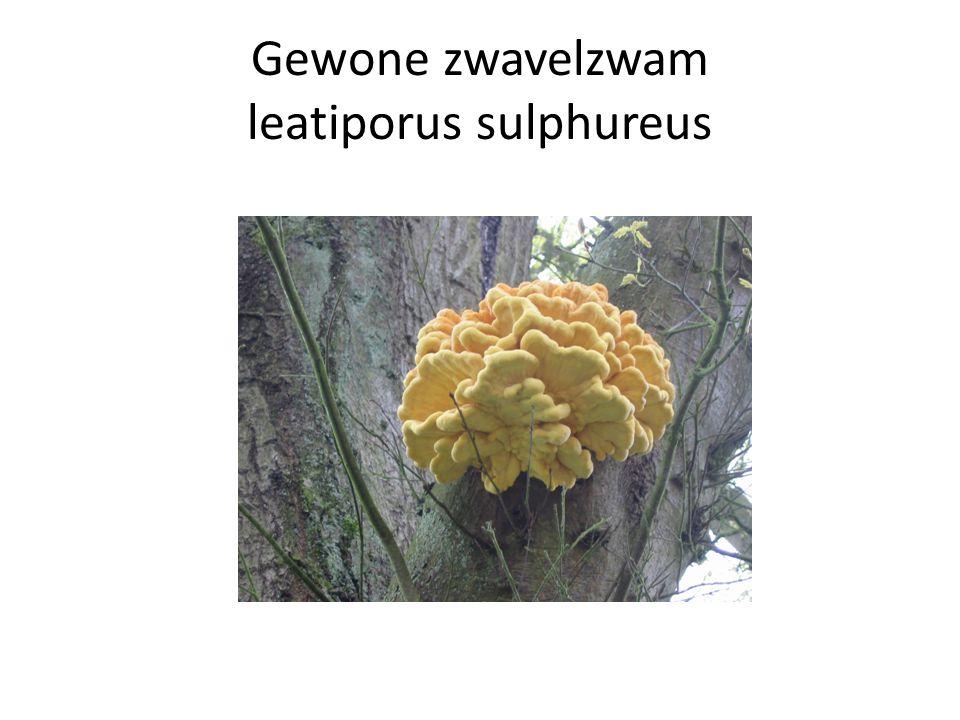 Gewone zwavelzwam leatiporus sulphureus