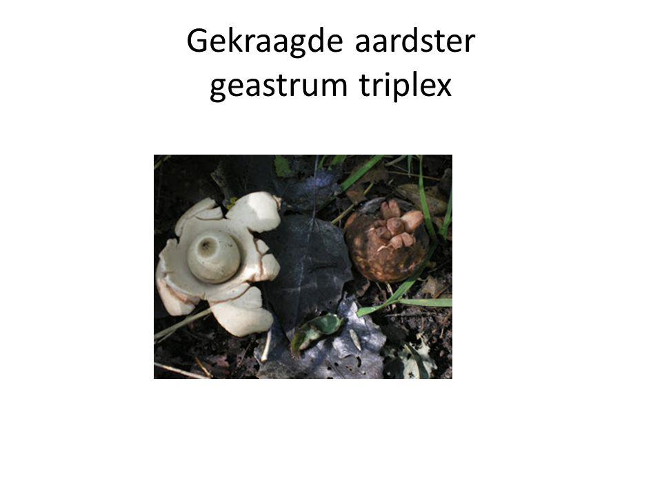 Gekraagde aardster geastrum triplex