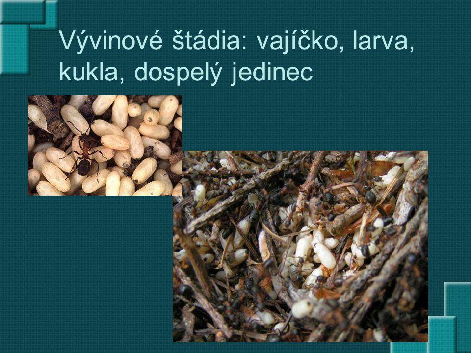 Vývinové štádia: vajíčko, larva, kukla, dospelý jedinec
