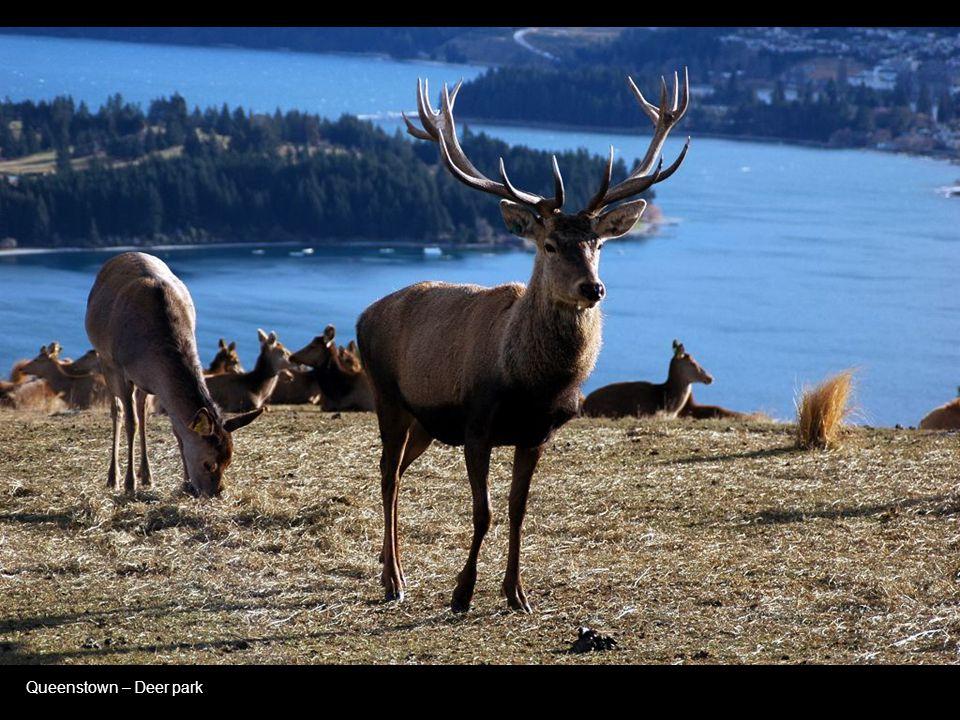 Queenstown – Deer park