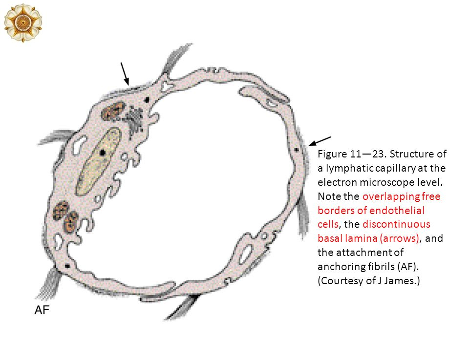 Figure 11—23. Structure of a lymphatic capillary at the electron microscope level. Note the overlapping free borders of endothelial cells, the discont