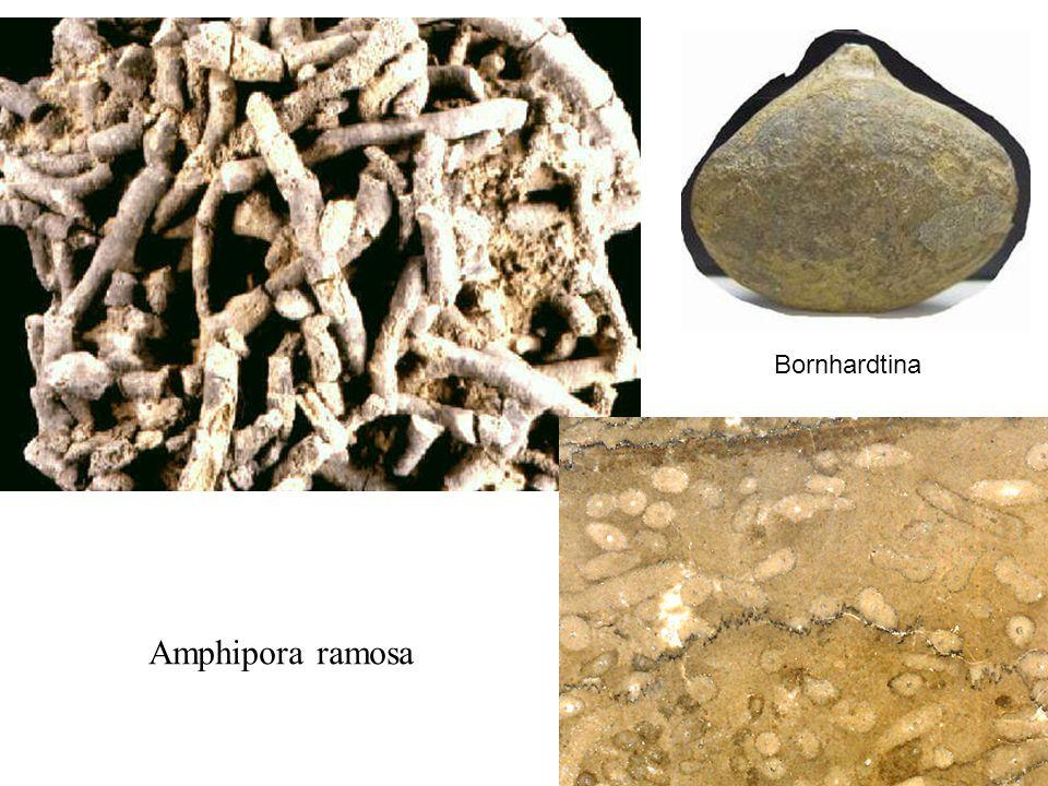 Amphipora ramosa Bornhardtina