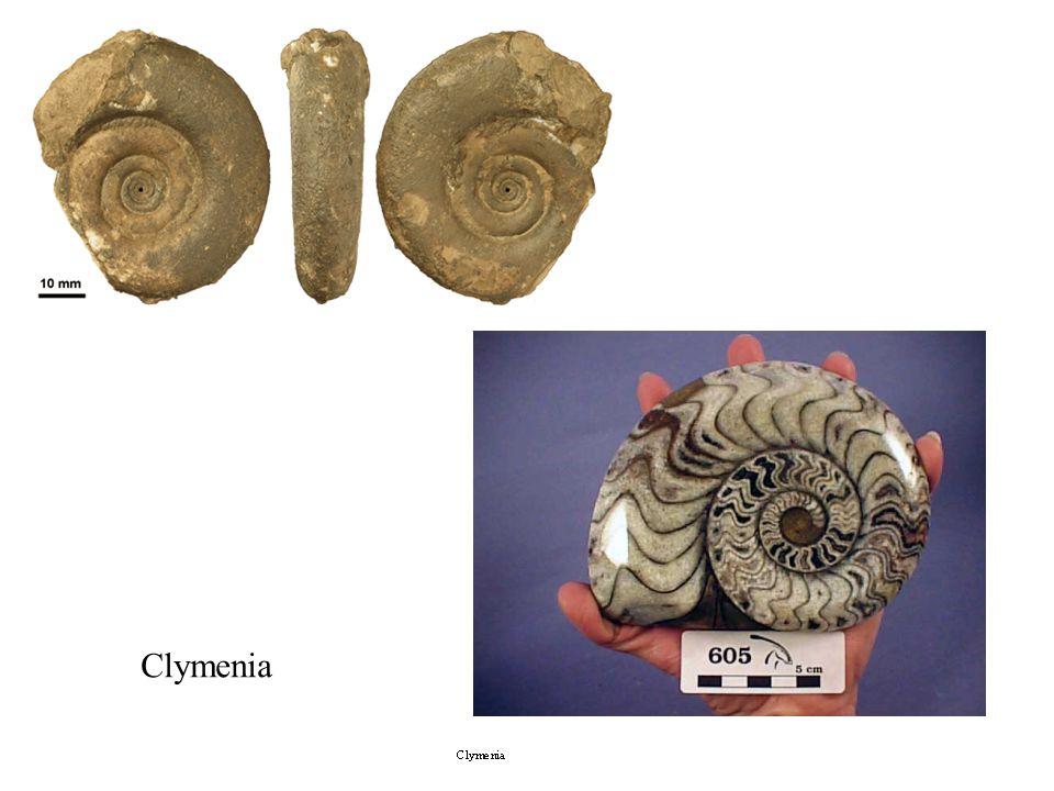 Clymenia