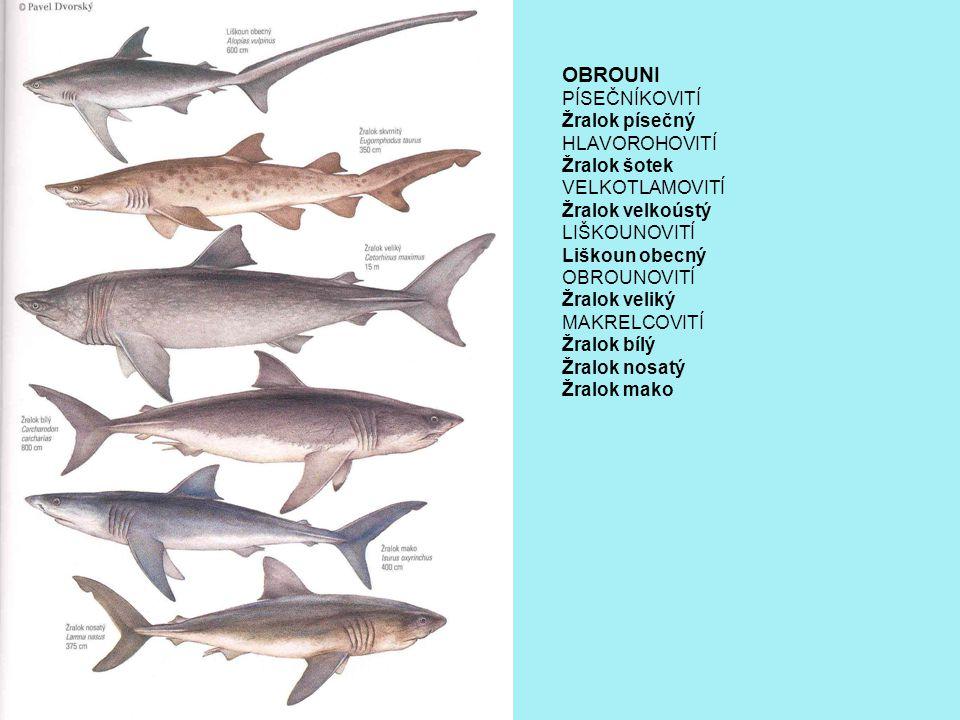 OBROUNI PÍSEČNÍKOVITÍ Žralok písečný HLAVOROHOVITÍ Žralok šotek VELKOTLAMOVITÍ Žralok velkoústý LIŠKOUNOVITÍ Liškoun obecný OBROUNOVITÍ Žralok veliký MAKRELCOVITÍ Žralok bílý Žralok nosatý Žralok mako